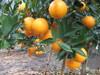 China Jiangxi valencia orange in organic Fruit