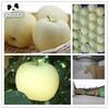 Chinese sweet golden crisp apple fruit