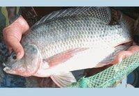 frozen fish whole round sea bream