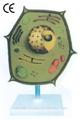 Pflanzenzellen modell mit sockel