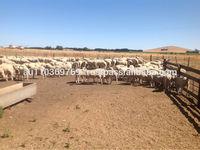 frozen Australian lamb meat--ready for sale