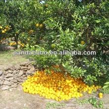 Top quality Fresh honey baby mandarin/Nanfeng orange from China Jiangxi origin
