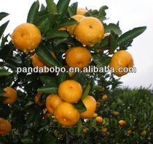 Chinese Best quality Fresh honey baby mandarin/Nanfeng orange from Jiangxi origin