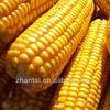 Chinese original high quality non gmo yellow corn