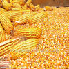 Why Americans have high price purchasing China's corn