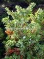 Juniperus Procera/Juniperus comman/common- Wacholder