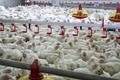 Bac d'alimentation de poulet 504/automatique système d'arrosage de la volaille pour les poulets