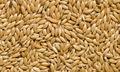 canarias de semillas de aves y mezcla de semillas