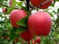 fresca de manzana