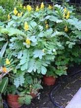 Cassia siamea (C.florida)(Qg) Seeds , iron wood, yellow cassia Seeds kassod tree, Thai copper pod, Bombay black wood, Siamese