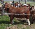 Direct. chèvres boer, chèvres saanen, askanian chèvres