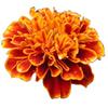 Cosmetic Grade Oil of marigold
