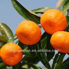 Pampas original fresh mandarin orange citrus fruit with own orchard and processing factory