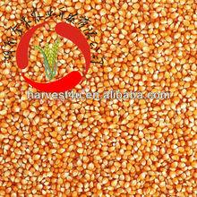 low price natural dry kernel corn/ bulk sweet dried corn kernel