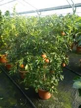 citrus aurantium planta de árbol 8