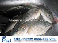 Healthy frozen tilapia fish farming raised
