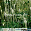 Competitive Price Natural Black Cohosh Extract