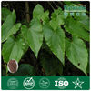 GMP Manufacture Supply Shorthorned Epimedium Herb Extract