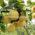 2014 new golde fresh pear