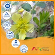 Herb Medicine Plant Extract Of Tribulus Terrestris Extract