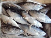 frozen whole round bonito tuna