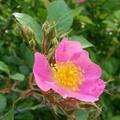 Alimentos e diário essência com Eubatus Bubus Rose de fluxo