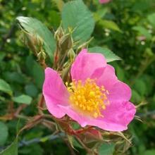 Food & Daily essence with Eubatus Bubus Rose Flow
