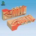 Bix-l1003 tejido dental de la descomposición de modelo de los dientes