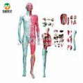 Bix-a1028 corpo humano camada dissecção com vísceras modelo