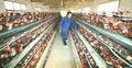 Prolongar a postura de pico aves vitamina pré mistura