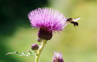 Milk thistle extract/ silymarin
