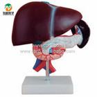 BIX-A1047 Liver pancreas duodenum model