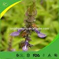 superior ingrediente emagrecimento forskohlii coleus raiz