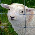 Hot vente de chèvre/clôture de la vache
