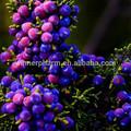 Hi-q orgânica bagas de zimbro p. E o/juniperus formosana hayata 7:1