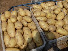 2015 fresh potato