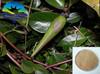 High quality Gymnema Sylvestre Extract/Gymnema Extract,25%, 50%Gymnemic Acids