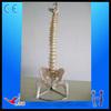 HOT SALES Natural size spine with pelvis and half leg spine model