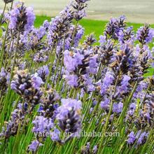 Natural Lavender P.E. Herb Lavender Lavandula angustifolia spica Blue Purple Garden Flower Herbs Seeds