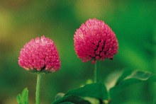 Red Clover Extract,20%, 40% Total Isoflavones HPLC