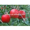 ricos en vitamina c deliciosas frutas en conserva dados de manzana en jarabe sólido paquete de manzana