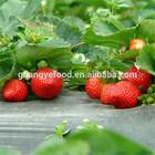 iqf frozen frozen fruit strawberry