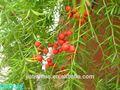 vende naturais cochinchinese espargos extrato da raiz de pó