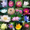 High Sprouting Rate Black Lotus Seed Water Lily seeds For Growing Beautiful Lotus Flowers