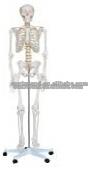 180cm animal skeleton,bird skeleton,bat skeleton
