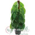 0068 china factory price cheap wholesale ornamental foliage plants