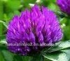 Natural Trifolium Pratente L.Extract,20%, 40% Total Isoflavones HPLC,Red Clover Extract Powder