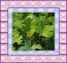 Macleaya Cordata Extract,Plumepoppy Extract Pink Plumepoppy Herb P.E.