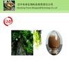 100% Nature Cyclocarya paliurus extract 10:1 , 20:1