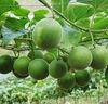 High quality monk fruit sweetener / Monk fruit / Mogrosides / Bodybuilding and health care
